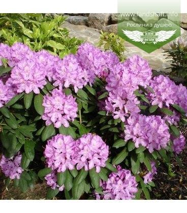Rhododendron 'Roseum Elegans' Рододендрон 'Розеум Элеганс'