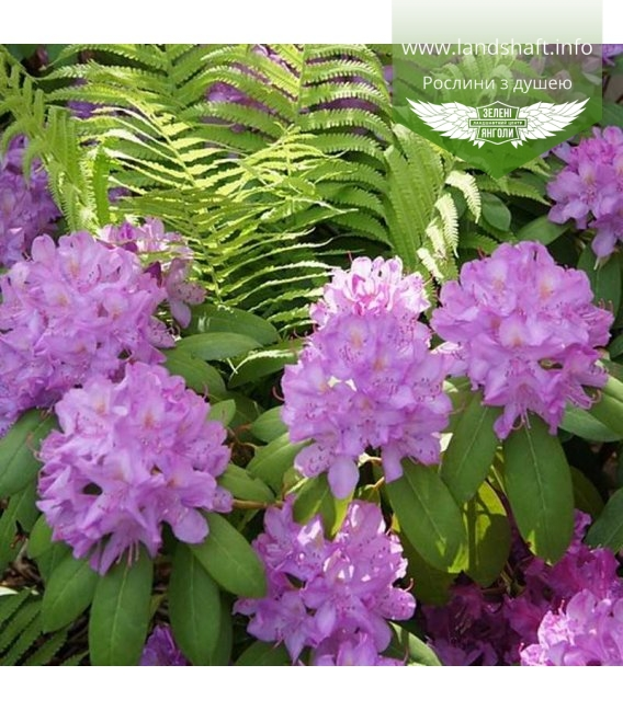 Rhododendron 'Roseum Elegans', Рододендрон 'Розеум Елеганс'