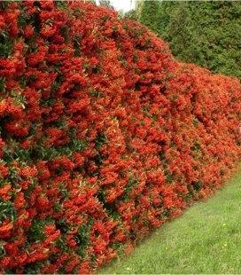Pyracantha coccinea 'Red Column', Пираканта ярко-красная 'Рэд Колумн'