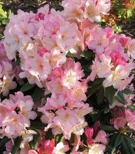 Rhododendron 'Percy Wiseman' Рододендрон 'Персі Вайсман'