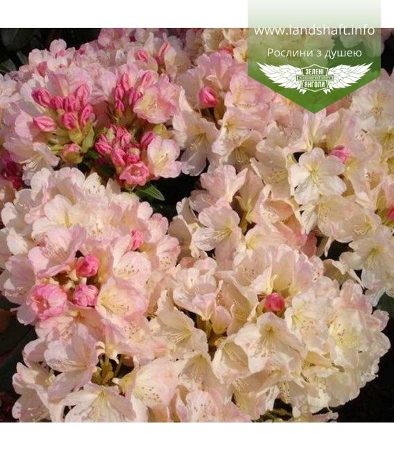 Rhododendron 'Percy Wiseman' Рододендрон 'Перси Вайсман'