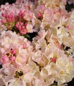 Rhododendron 'Percy Wiseman', Рододендрон 'Перси Вайсман'