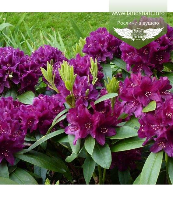 Rhododendron 'Polarnacht', Рододендрон 'Поларнахт'