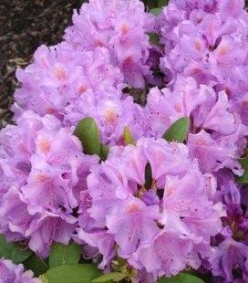 Rhododendron catawbiense 'Grandiflorum' Рододендрон катевбинський 'Грандіфлорум'