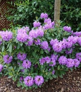 Rhododendron catawbiense 'Grandiflorum', Рододендрон катевбинский 'Грандифлорум'