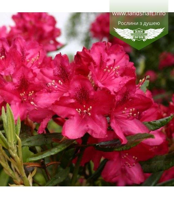 Rhododendron 'Nova Zembla', Рододендрон 'Нова Зембла'