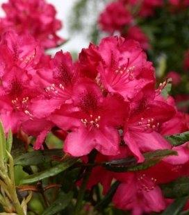 Rhododendron 'Nova Zembla' Рододендрон 'Нова Зембла'