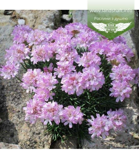 Armeria juniperifolia 'Brno' Армерия дернистая 'Брно'