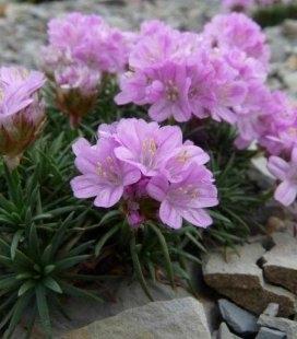 Armeria juniperifolia 'Brno', Армерия дернистая 'Брно'