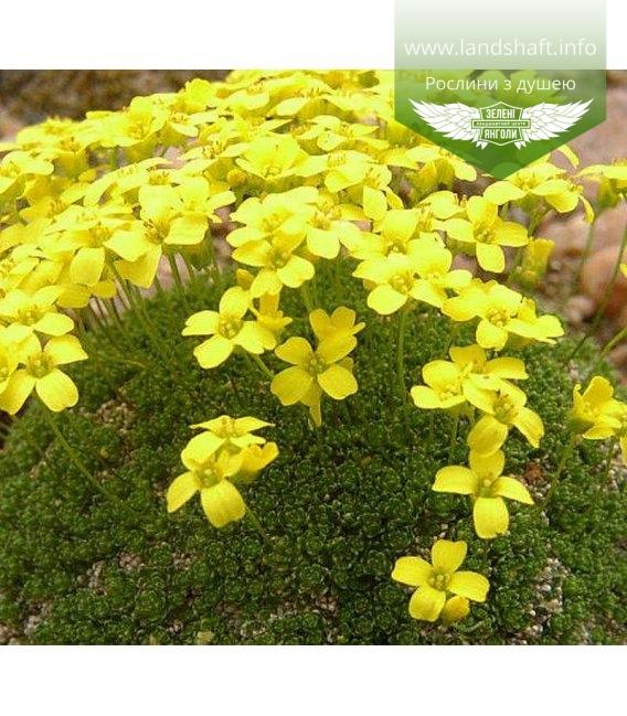 Draba bryoides, Драба моховидна