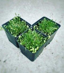 Dianthus gratianopolitanus 'Baby Lom', Гвоздика гренобльская 'Бэби Лом'