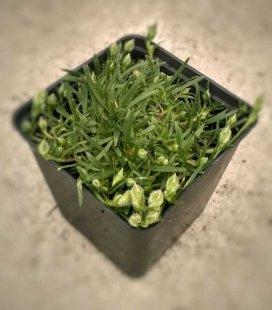 Dianthus gratianopolitanus 'Babi Lom', Гвоздика гренобльська 'Бабі Лом'