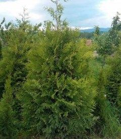 Thuja occidentalis 'Frieslandia', Туя західна 'Фрісландія'