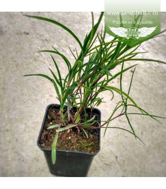 Dianthus x isensis 'Dancing Geisha', Гвоздика 'Денсінг Гейша'