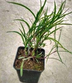 Dianthus x isensis 'Dancing Geisha' Гвоздика 'Дэнсинг Гейша'