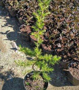 Larix leptolepis/kaempferi, Модрина тонколуската (японська)