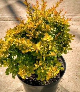 Berberis thunbergii 'Sensation' Барбарис Тунберга 'Сэнсейшн'
