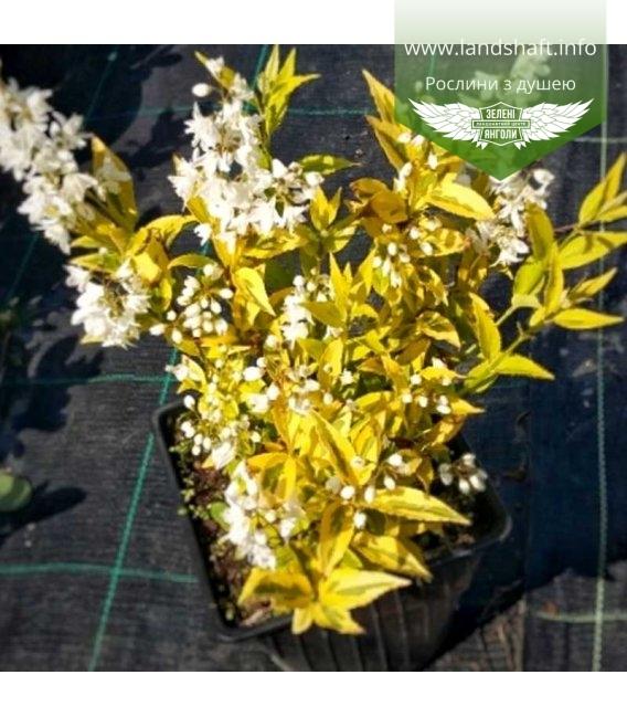 Deutzia gracilis 'Variegata', Дейція витончена 'Варієгата'