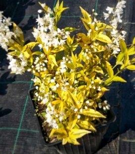 Deutzia gracilis 'Variegata' Дейція витончена 'Варієгата'