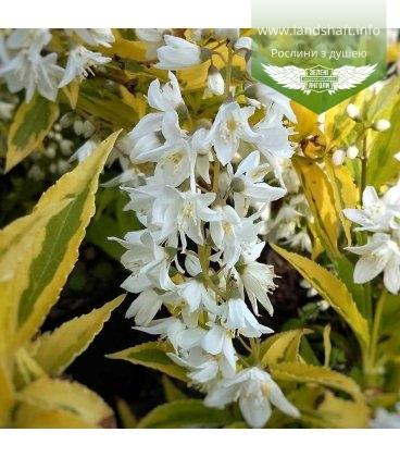 Deutzia gracilis 'Variegata' Дейция изящная 'Вариегата'
