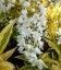 Deutzia gracilis 'Variegata', Дейция изящная 'Вариегата'