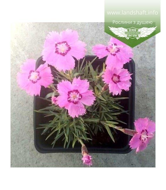 Dianthus gratianopolitanus hybr. Гвоздика гренобльская гибр.