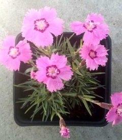 Dianthus gratianopolitanus hybr., Гвоздика гренобльська гібр.