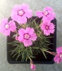 Dianthus gratianopolitanus hybr., Гвоздика гренобльская гибридная