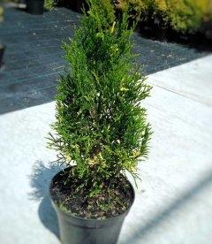 Thuja occidentalis 'Spotty Smaragd', Туя західна 'Спотті Смарагд'
