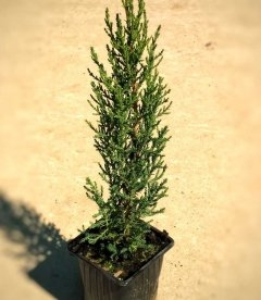 Cupressus sempervirens 'Stricta' Кипарис вечнозеленый 'Стрикта'