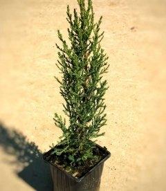Cupressus sempervirens 'Stricta', Кипарис вічнозелений 'Стрікта'
