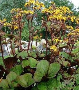 Ligularia dentata 'Desdemona', Бузульник зубчатый 'Дездемона'