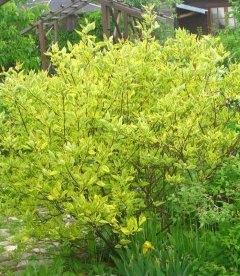 Cornus alba 'Gouchaultii', Дерен белый 'Гухалти'