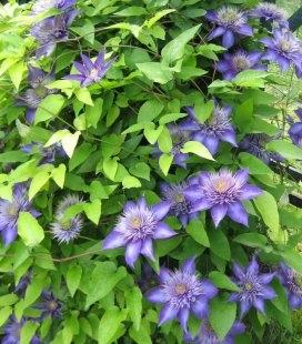 Clematis 'Multi Blue' Клематіс 'Мульті Блю'