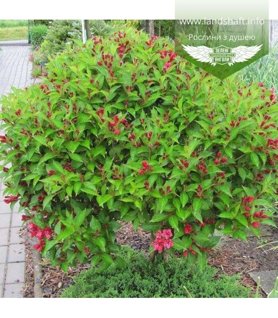 Weigela x hybrida 'Red Prince', Вейгела 'Ред Прінс'
