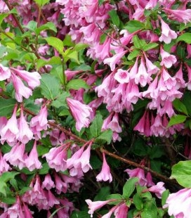 Weigela praecox 'Bouquet Rose' Вейгела ранняя 'Букет Роз'