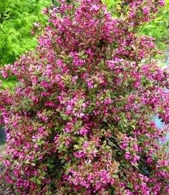 Weigela florida 'Victoria' Вейгела цветущая 'Виктория'