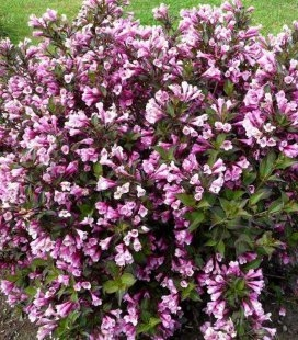 Weigela florida 'Nana Purpurea' Вейгела квітуча 'Нана Пурпуреа'