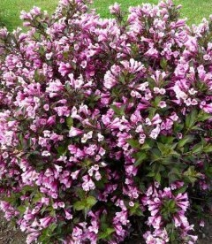 Weigela florida 'Nana Purpurea' Вейгела цветущая 'Нана Пурпуреа'