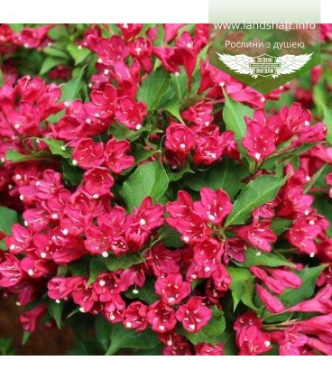 Weigela florida 'Red Prince' Вейгела цветущая 'Ред Принс'