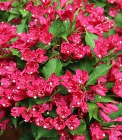Weigela x hybrida 'Red Prince', Вейгела 'Ред Прінс'
