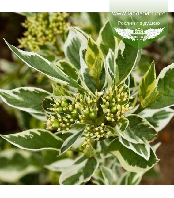 Cornus stolonifera 'White Gold' Дерен блестящий 'Вайт Голд'