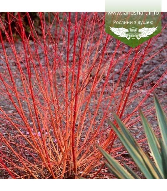 Cornus sanguinea 'Midwinter Fire', Дерен криваво-червоний 'Мідвінтер Фаєр'