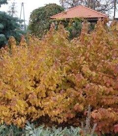 Cornus sanguinea 'Midwinter Fire' Дерен кроваво-красный 'Мидвинтер Фаер'