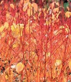 Cornus sanguinea 'Anny's Winter Orange', Дерен криваво-червоний 'Еніз Вінтер Оранж'