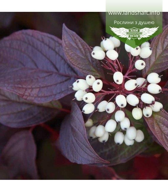 Cornus alba 'Siberian Pearls' Дерен белий 'Сайбериан Перлз'
