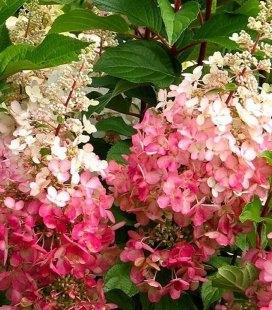 Hydrangea paniculata 'Pinky Winky', Гортензия метельчатая 'Пинки Винки'