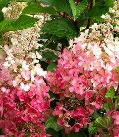 Hydrangea paniculata 'Pinky Winky', Гортензія волотиста 'Пінкі Вінкі'