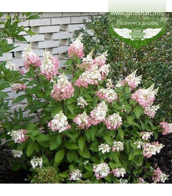 Hydrangea paniculata 'Pinky Winky' Гортензия метельчатая 'Пинки Винки'
