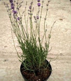 Lavandula angustifolia 'Middachten' Лаванда вузьколиста 'Міддахтен'